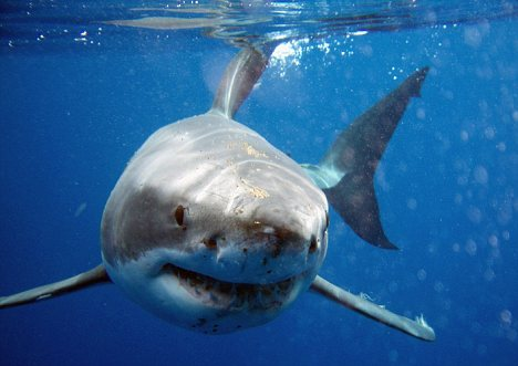 Great White Sharks In New Zealand